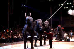 Bobby Gibbs and his performing elephants