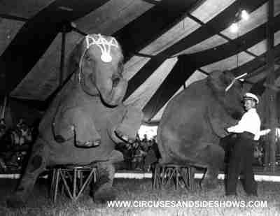 Matt Lauris with the Duke of Paducah Circus elephants