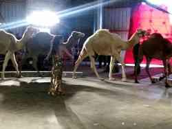 Performering camels